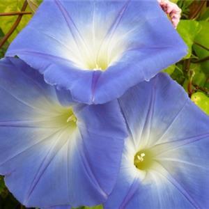 色彩浓郁的牵牛花植物图片